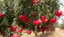 Pomegranate plantation in success