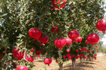 Pomegranate plantation in success